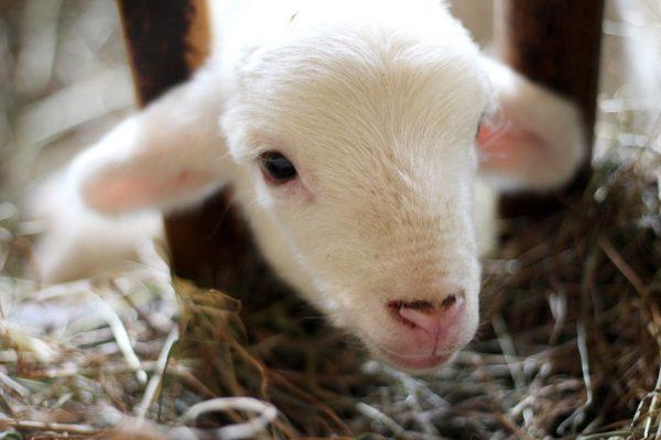 Qui est Jésus : L'agneau de Dieu